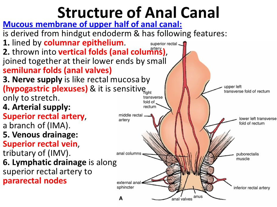 Structure of Anal Canal