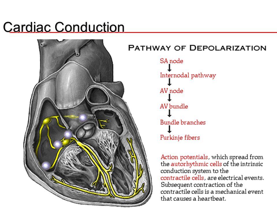 Cardiac Conduction SA node  Both Atria  AV Node Both Ventricles 