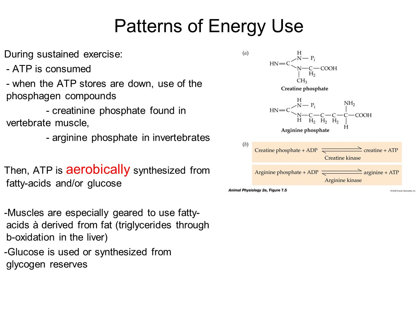 Patterns of Energy Use During sustained exercise: - ATP is consumed