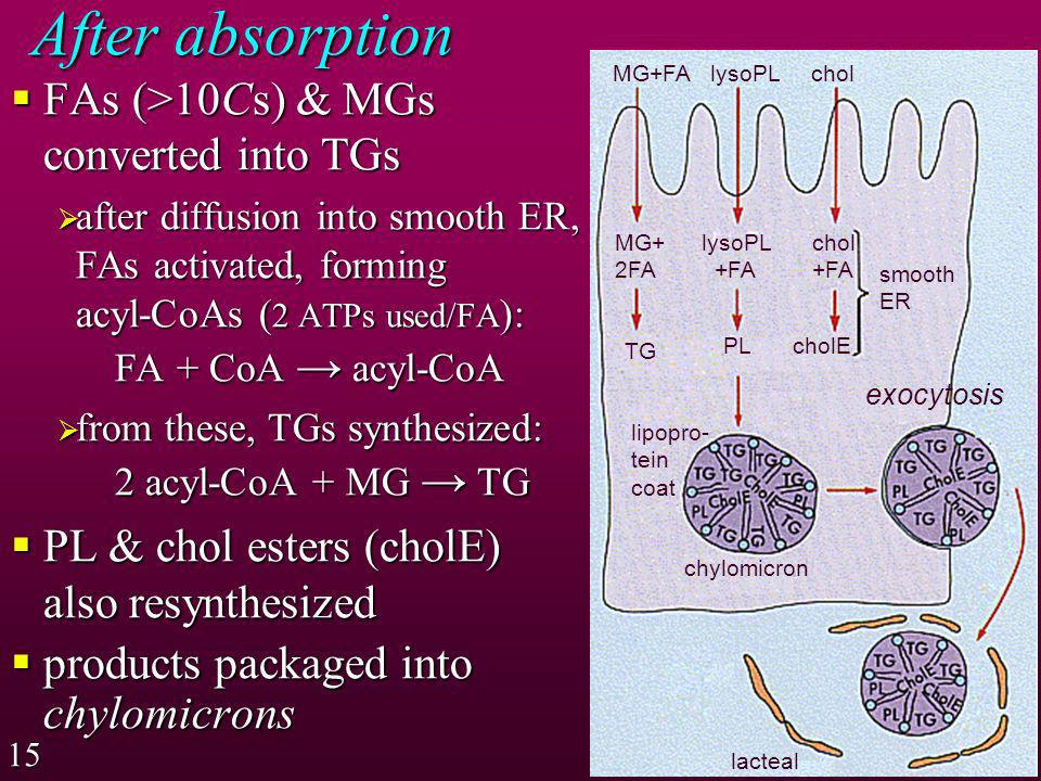 After absorption FAs (>10Cs) & MGs converted into TGs