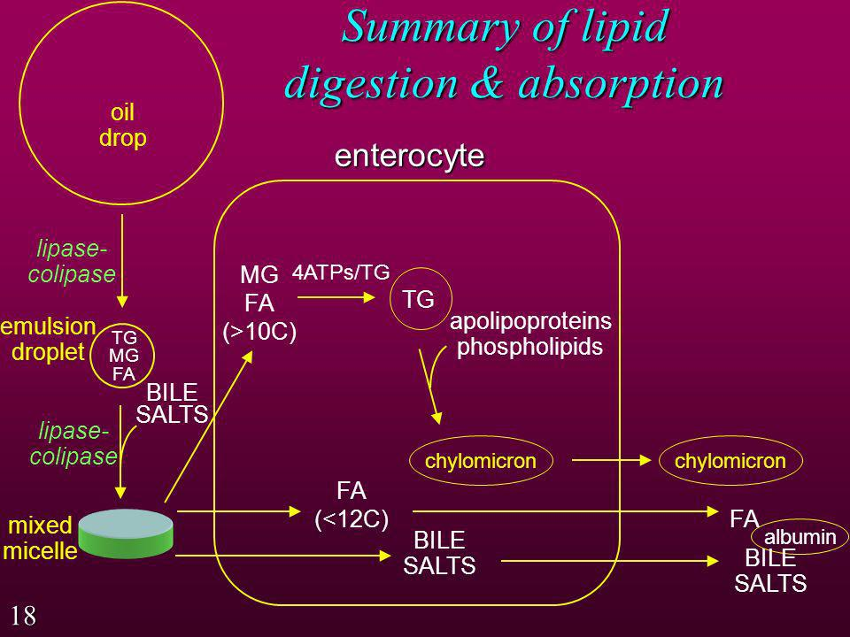 The process of lipid digestion in the stomach and small intestine