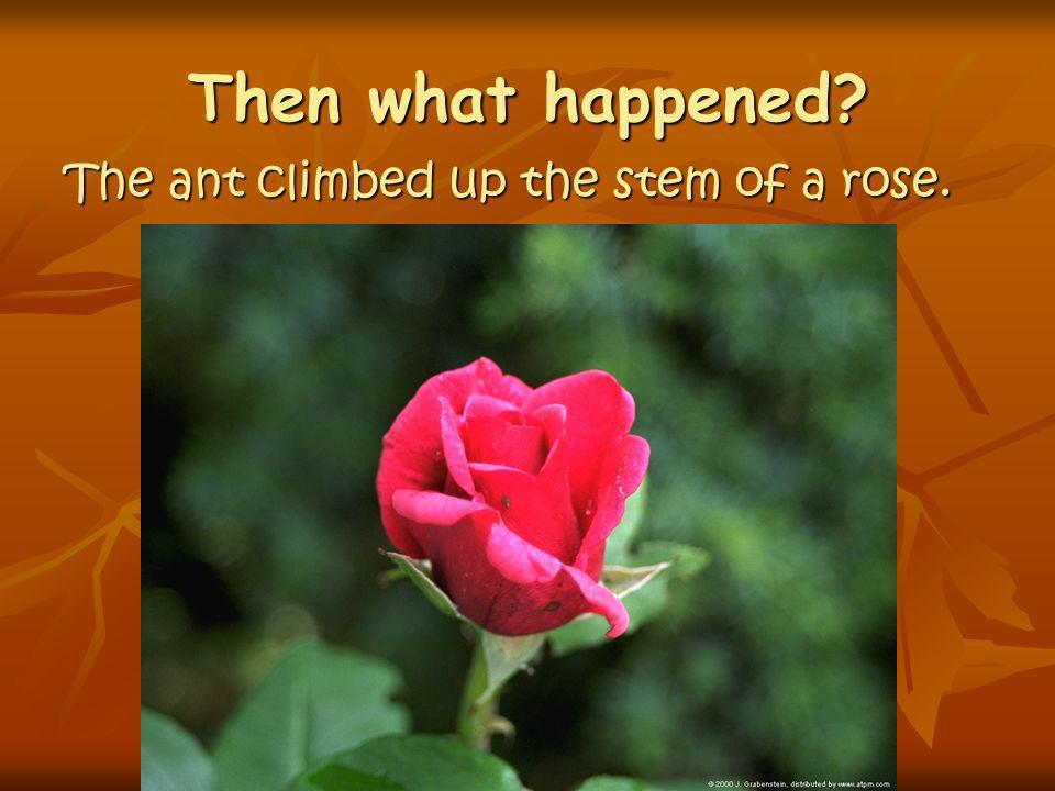 Then what happened The ant climbed up the stem of a rose.