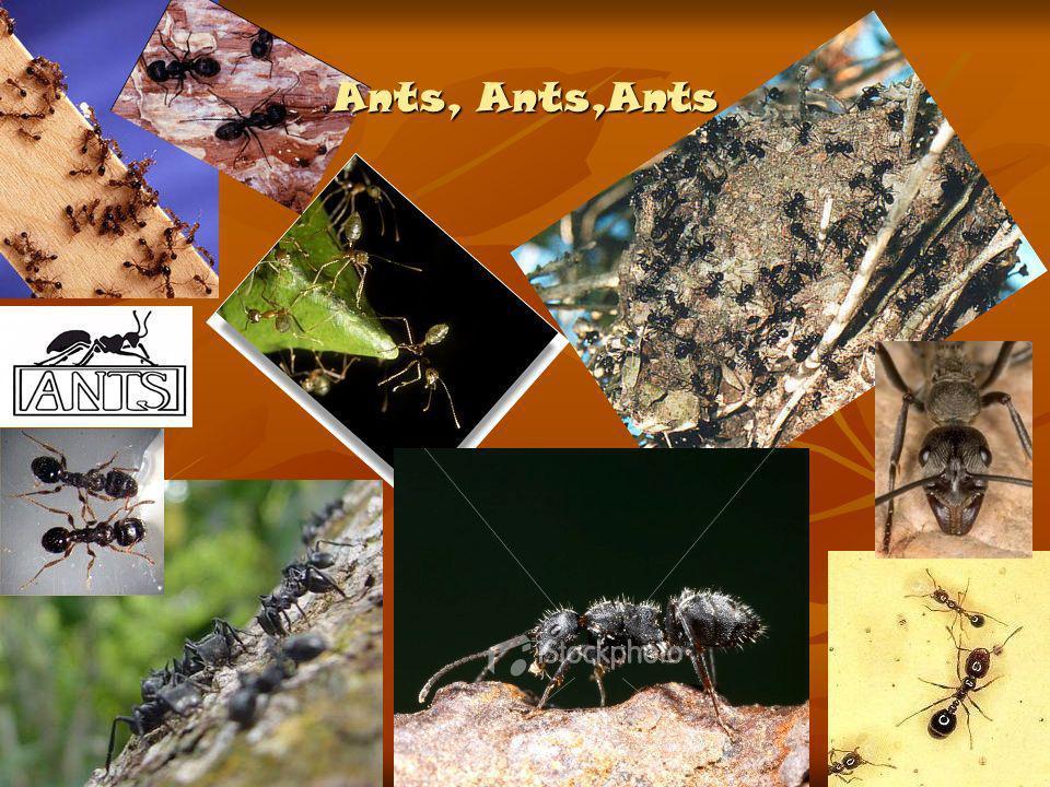 Ants, Ants,Ants