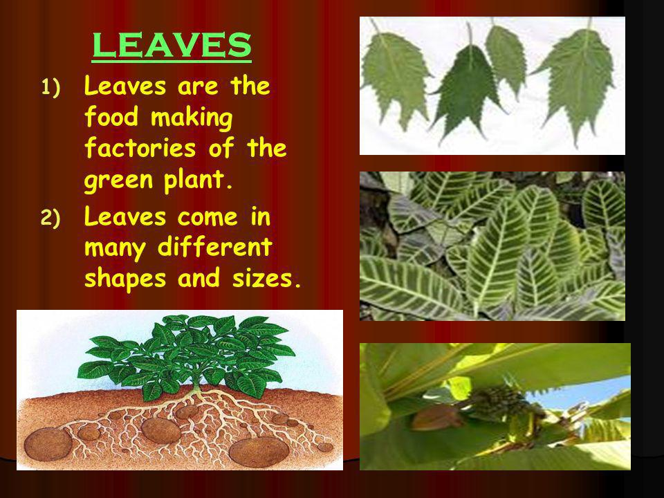 LEAVES Leaves are the food making factories of the green plant.