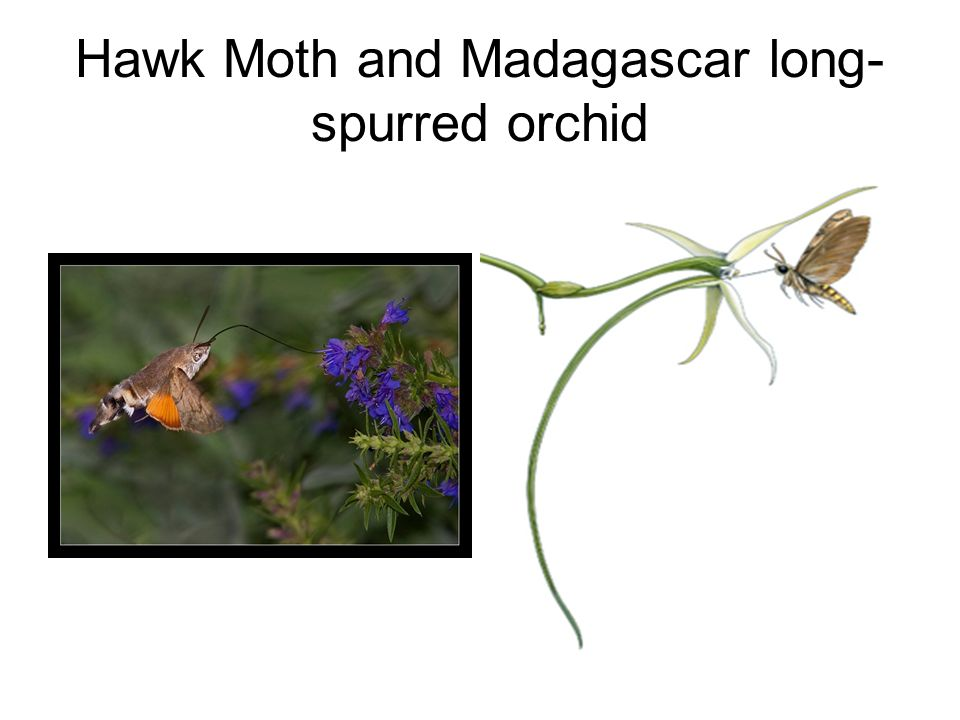 Hawk Moth and Madagascar long-spurred orchid