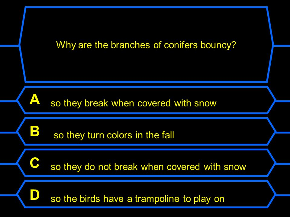 Why are the branches of conifers bouncy