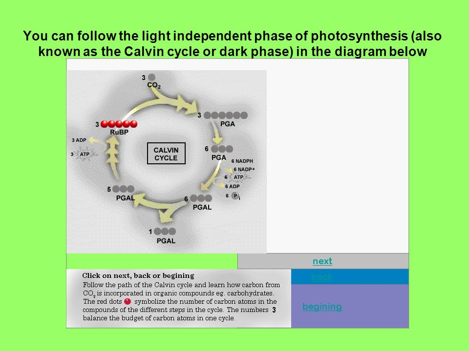 You can follow the light independent phase of photosynthesis (also known as the Calvin cycle or dark phase) in the diagram below