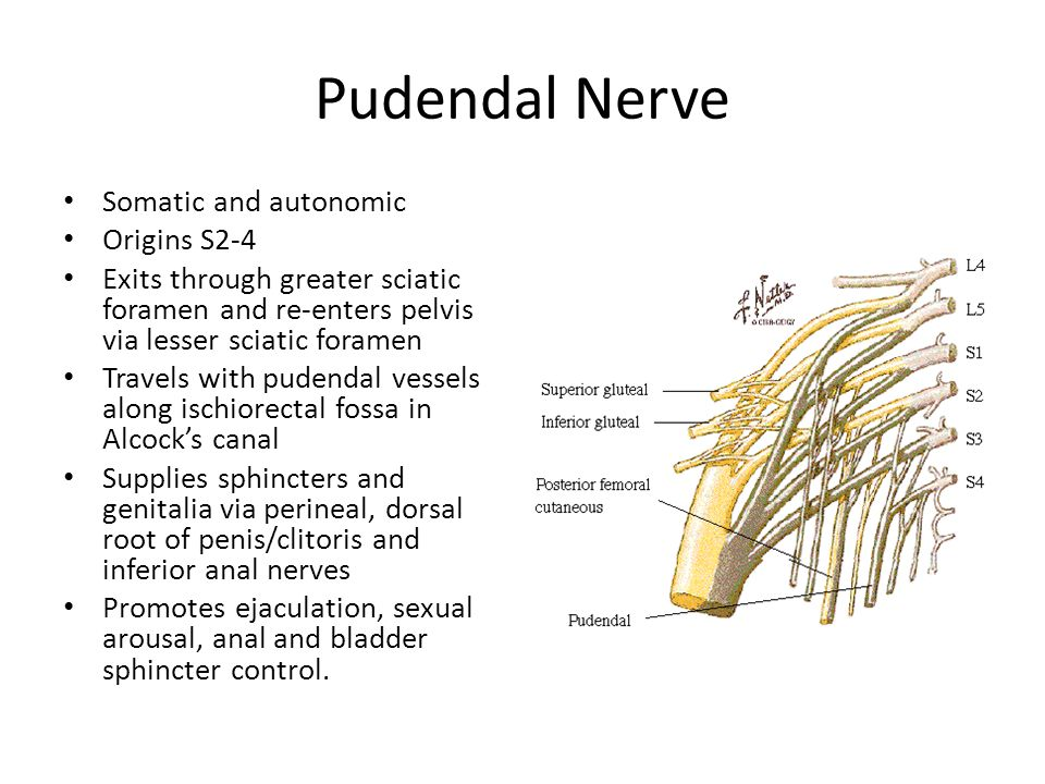 Pudendal Nerve Somatic and autonomic Origins S2-4