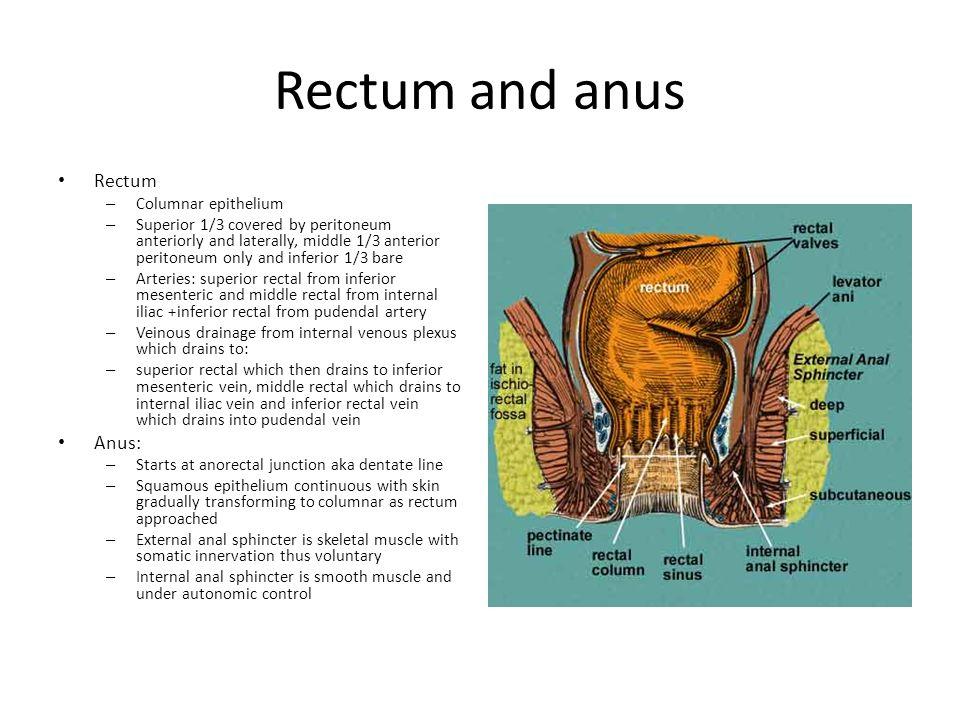 Rectum and anus Rectum Anus: Columnar epithelium