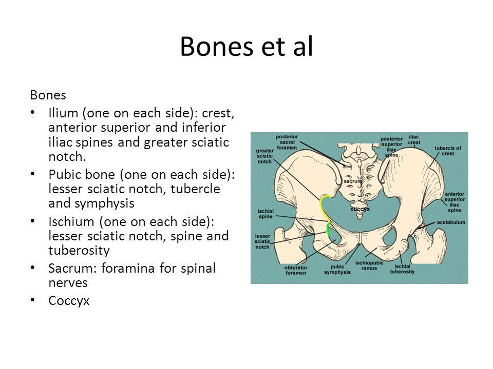 Bones et al Bones. Ilium (one on each side): crest, anterior superior and inferior iliac spines and greater sciatic notch.