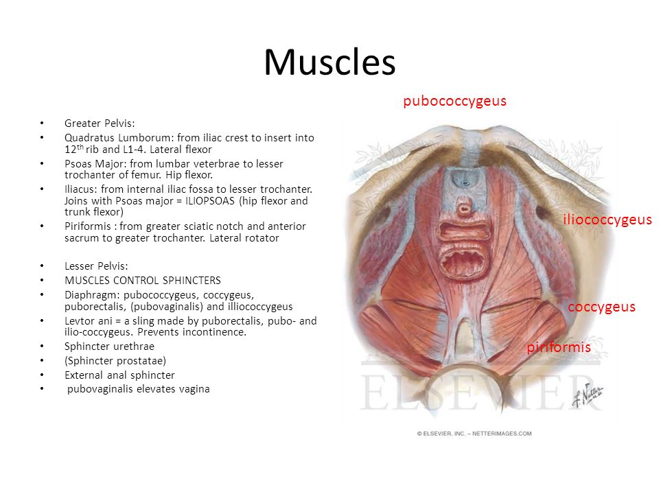 Muscles pubococcygeus iliococcygeus coccygeus Psoas major piriformis