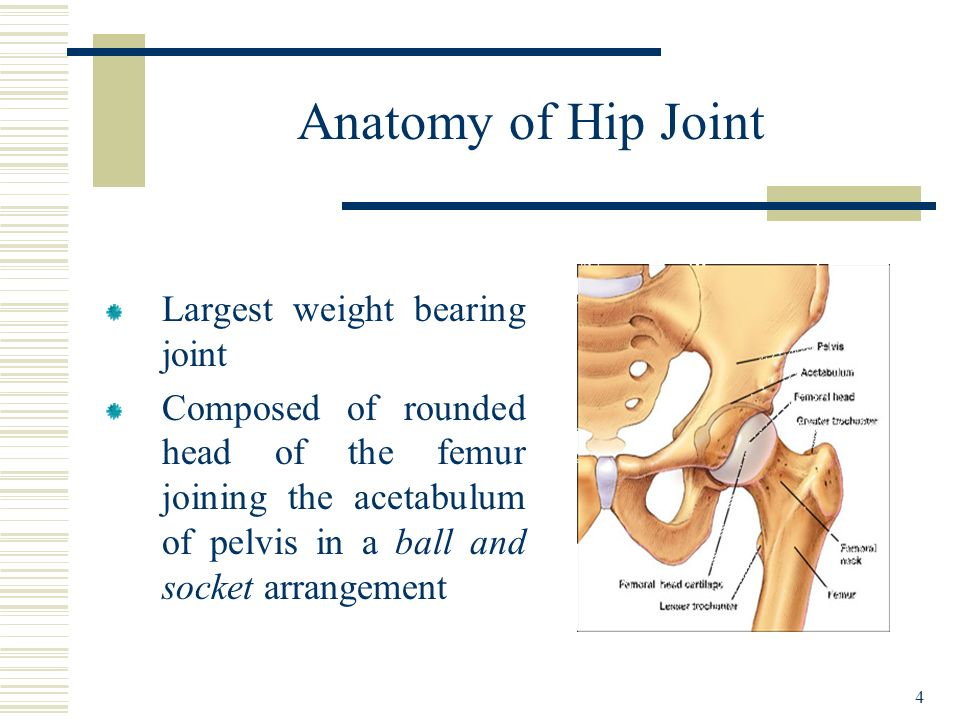 Anatomy of Hip Joint Largest weight bearing joint