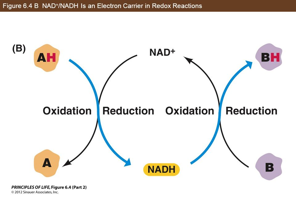 Figure 6.4 B NAD+/NADH Is an Electron Carrier in Redox Reactions