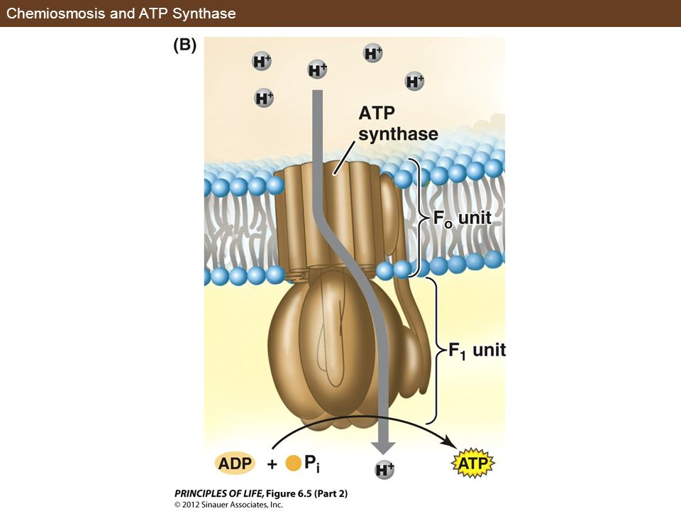 Chemiosmosis and ATP Synthase