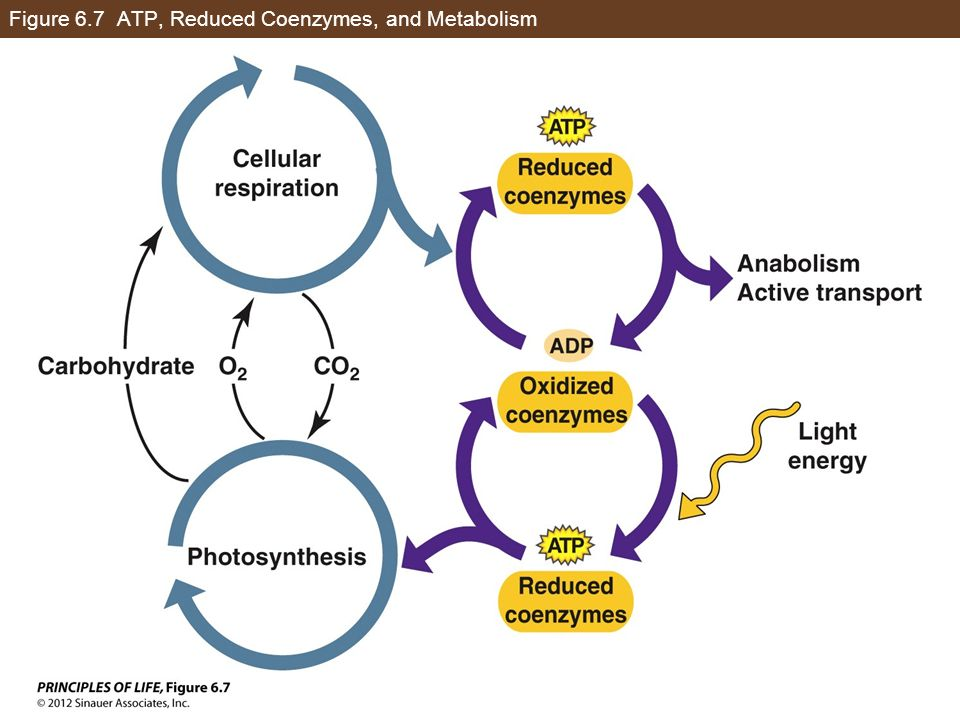 Figure 6.7 ATP, Reduced Coenzymes, and Metabolism
