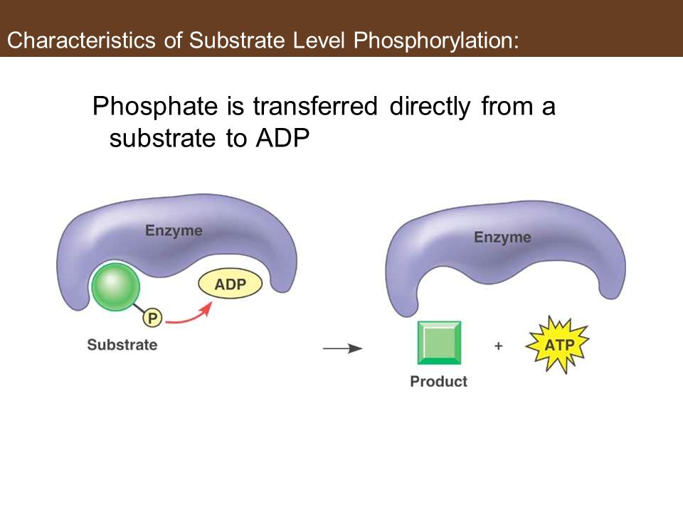 Characteristics of Substrate Level Phosphorylation: