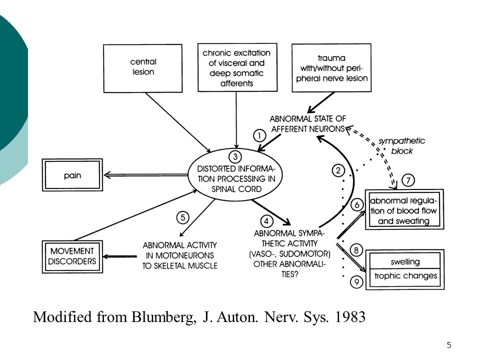 Modified from Blumberg, J. Auton. Nerv. Sys. 1983