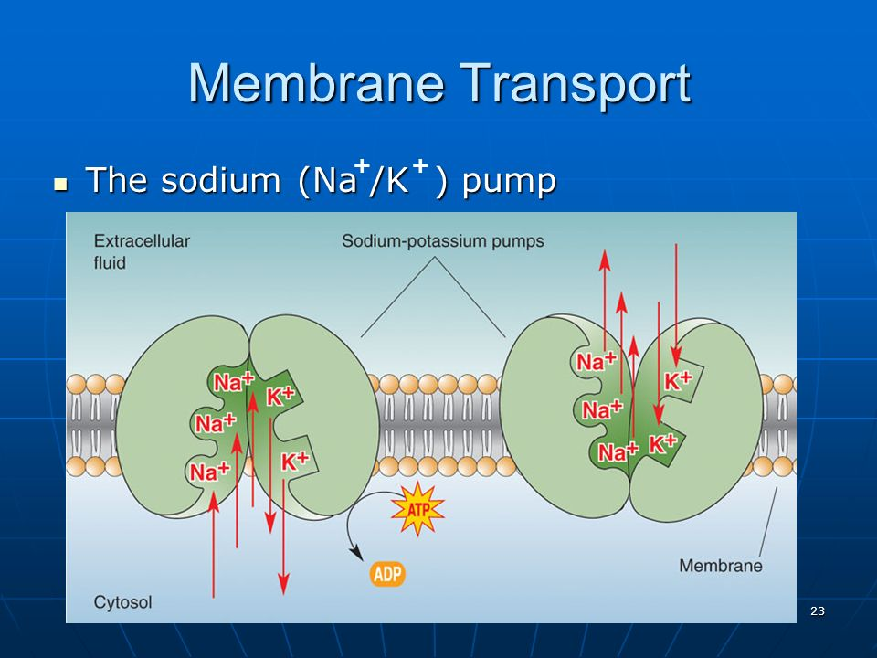 Membrane Transport + + The sodium (Na /K ) pump