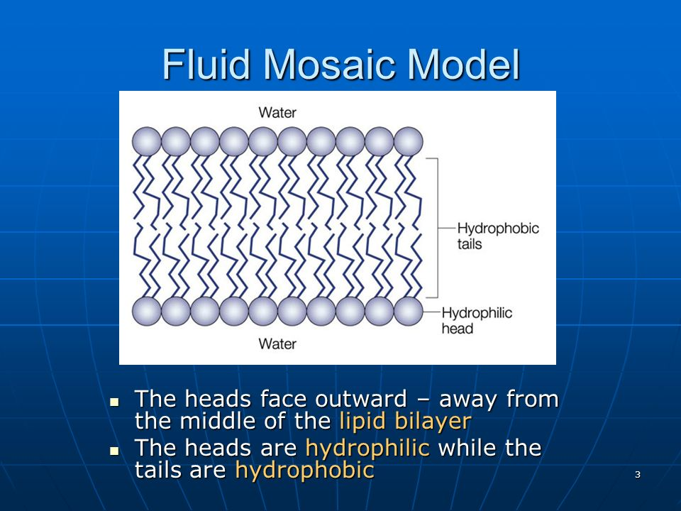 Fluid Mosaic Model The heads face outward – away from the middle of the lipid bilayer.