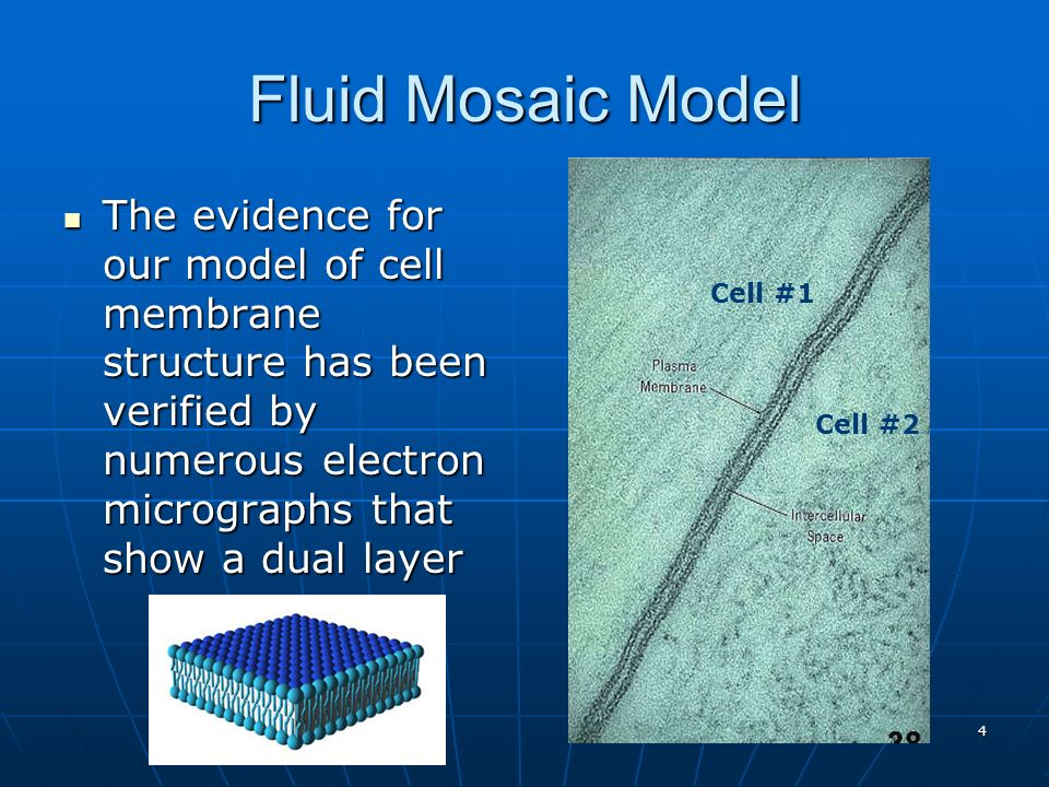 Fluid Mosaic Model The evidence for our model of cell membrane structure has been verified by numerous electron micrographs that show a dual layer.