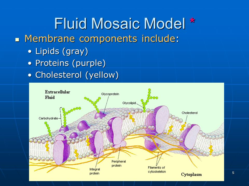 Fluid Mosaic Model * Membrane components include: Lipids (gray)