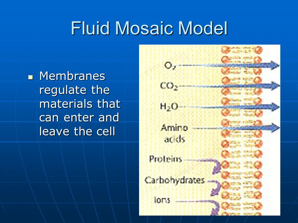 Fluid Mosaic Model Membranes regulate the materials that can enter and leave the cell