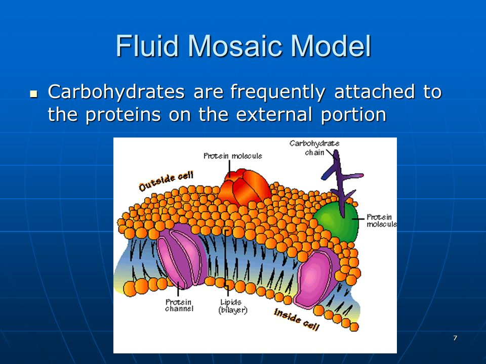 Fluid Mosaic Model Carbohydrates are frequently attached to the proteins on the external portion