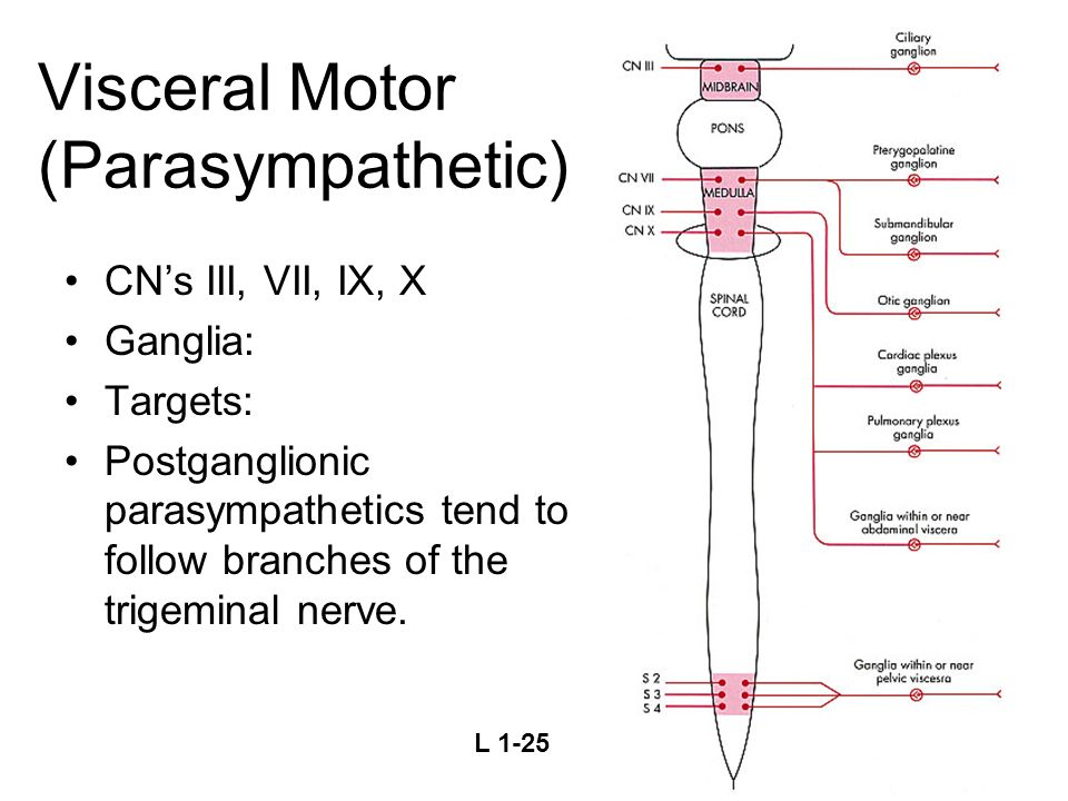 Visceral Motor (Parasympathetic)