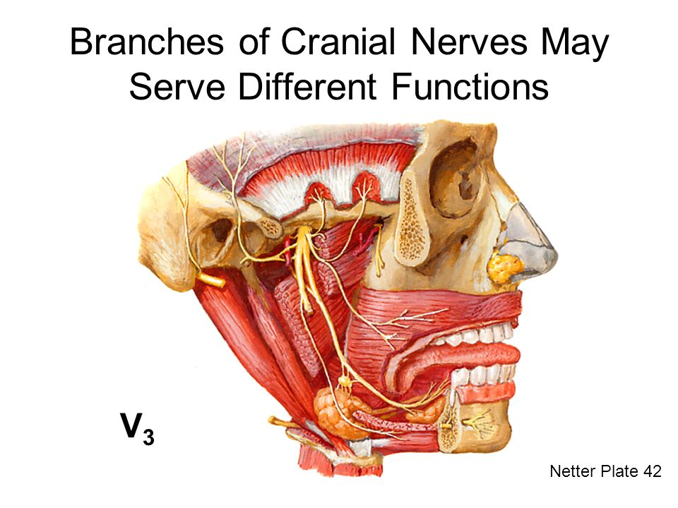 Branches of Cranial Nerves May Serve Different Functions