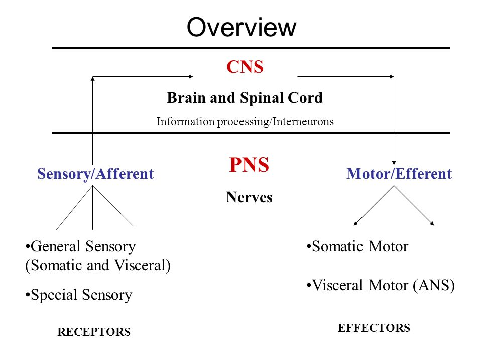 Information processing/Interneurons