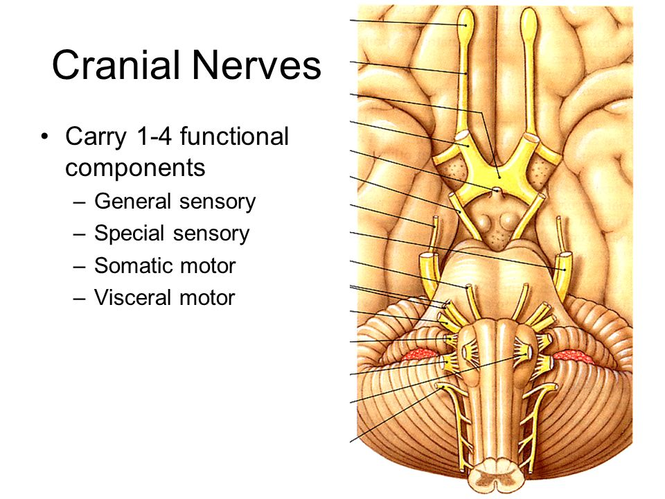 Cranial Nerves Carry 1-4 functional components General sensory