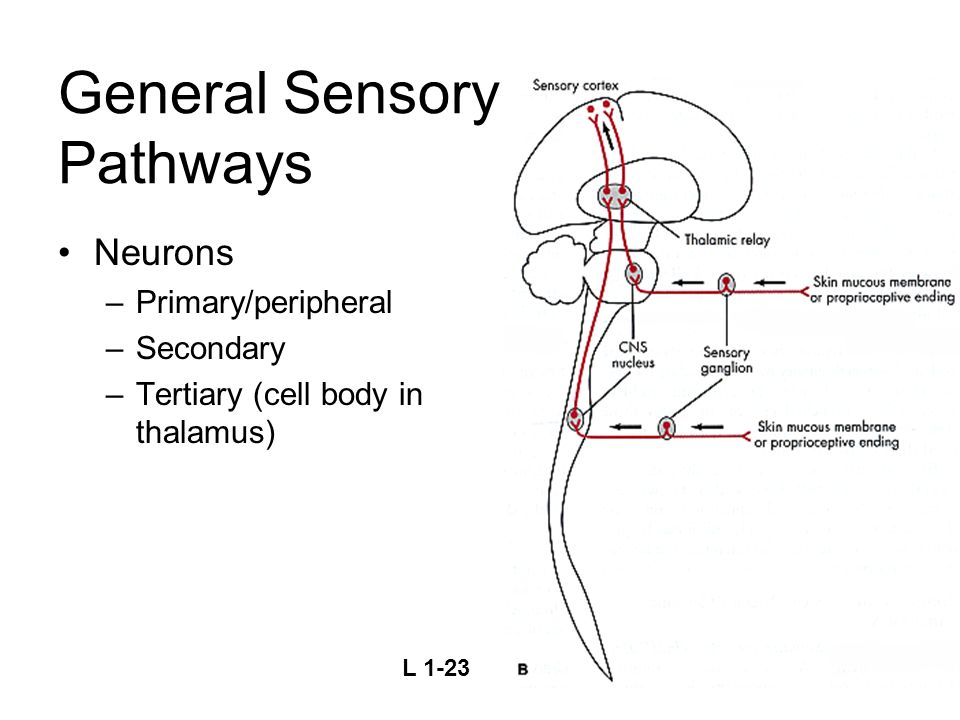 General Sensory Pathways