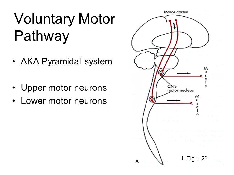 Voluntary Motor Pathway