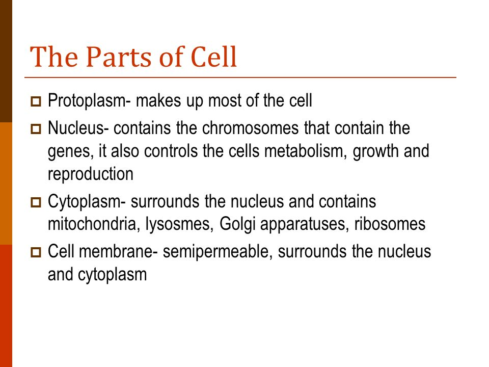 The Parts of Cell Protoplasm- makes up most of the cell