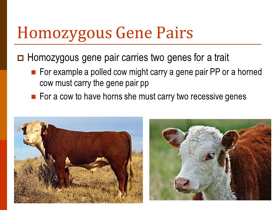 Homozygous Gene Pairs Homozygous gene pair carries two genes for a trait.
