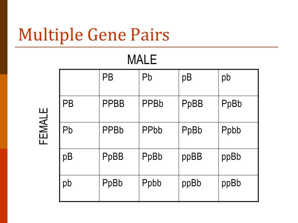Multiple Gene Pairs MALE FEMALE PB Pb pB pb PPBB PPBb PpBB PpBb PPbb