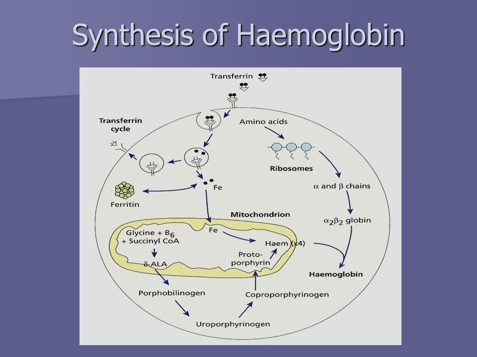 Synthesis of Haemoglobin