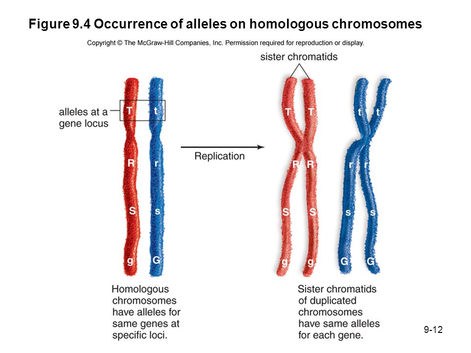 Figure 9.4 Occurrence of alleles on homologous chromosomes