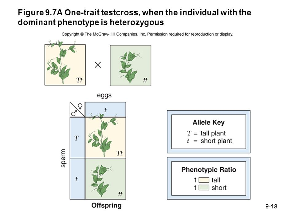 Figure 9.7A One-trait testcross, when the individual with the dominant phenotype is heterozygous