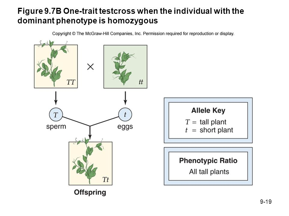 Figure 9.7B One-trait testcross when the individual with the dominant phenotype is homozygous