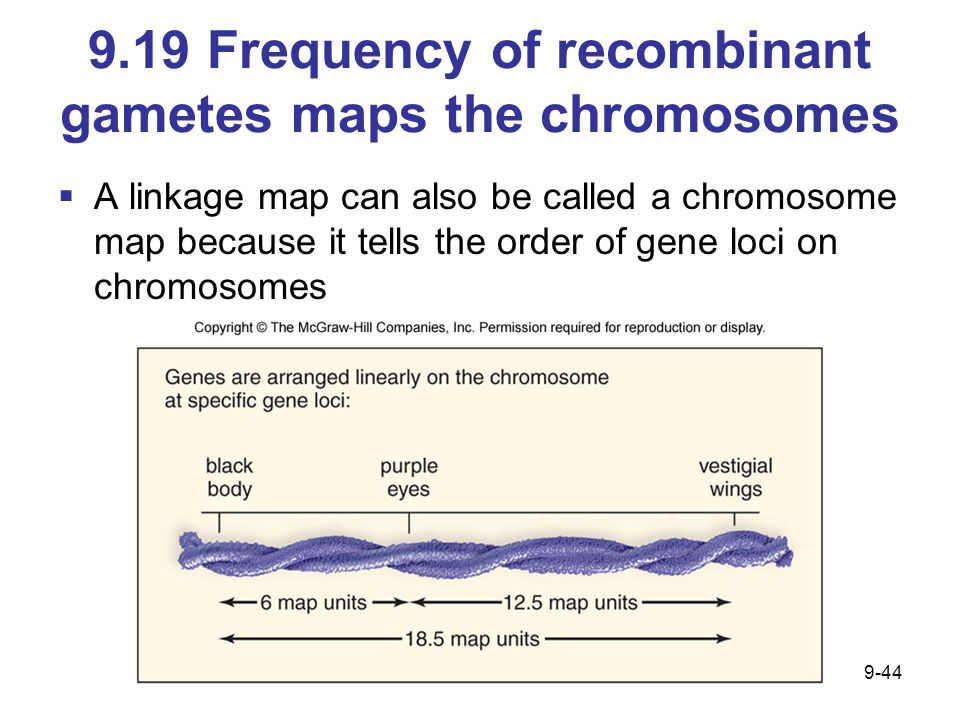 9.19 Frequency of recombinant gametes maps the chromosomes