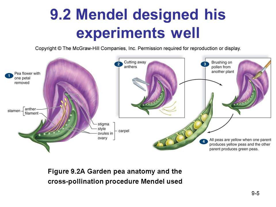 9.2 Mendel designed his experiments well