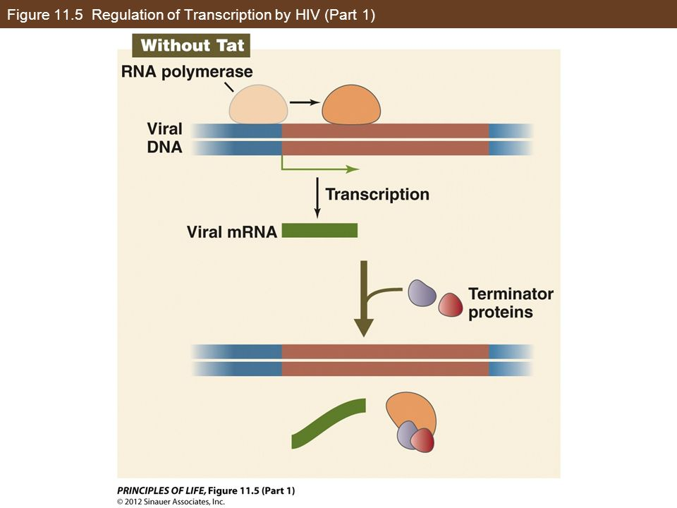 Figure 11.5 Regulation of Transcription by HIV (Part 1)