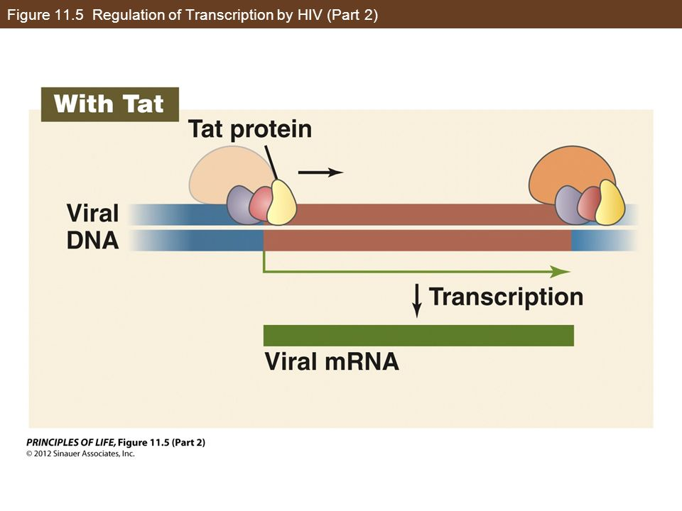 Figure 11.5 Regulation of Transcription by HIV (Part 2)