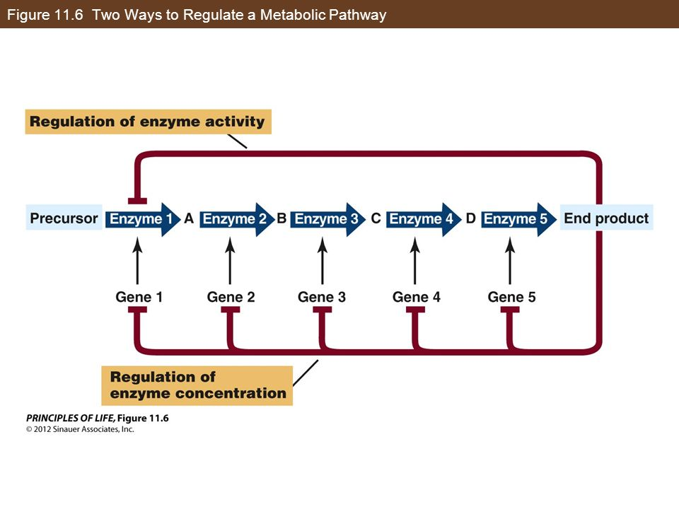 Figure 11.6 Two Ways to Regulate a Metabolic Pathway