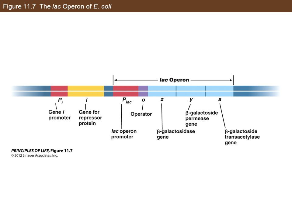 Figure 11.7 The lac Operon of E. coli