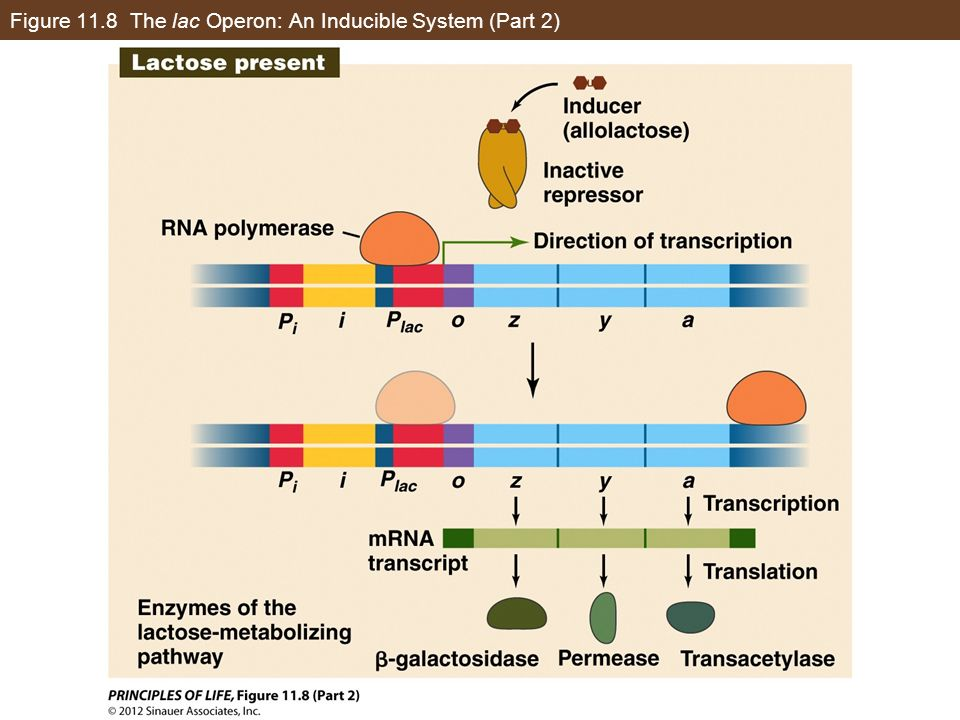 Figure 11.8 The lac Operon: An Inducible System (Part 2)