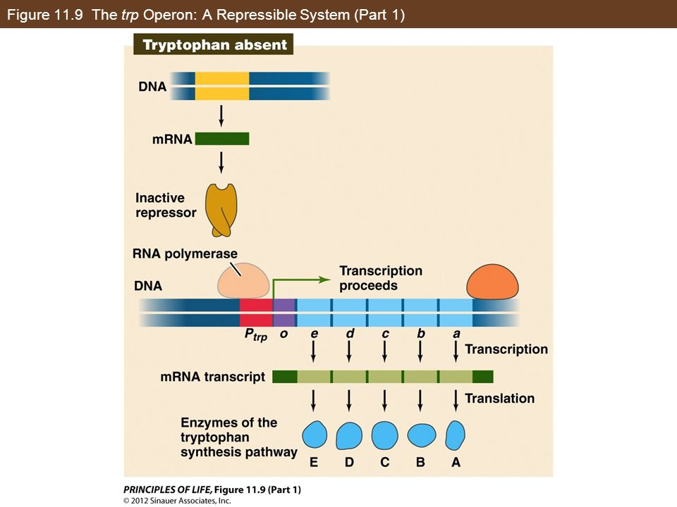 Figure 11.9 The trp Operon: A Repressible System (Part 1)