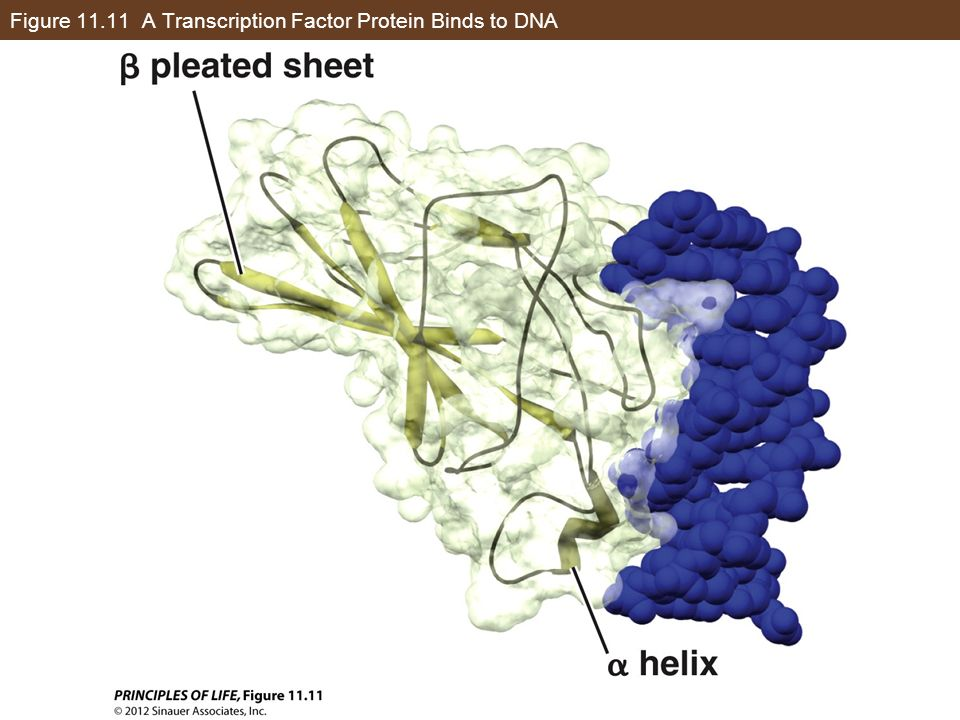 Figure A Transcription Factor Protein Binds to DNA