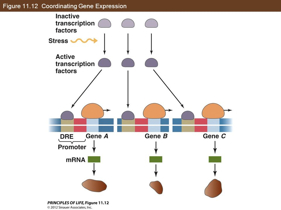 Figure Coordinating Gene Expression